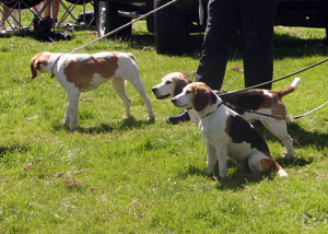 Beagle Show at Coniston Country Fair