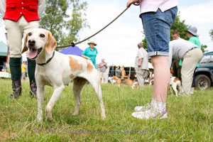 beagles at Coniston Country Fair